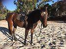 T/B Gelding For Sale or Lease West Swan Swan Area Preview