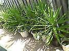 Yucca Plants from $10 each or buy 5 get 1 free Helensvale Gold Coast North Preview