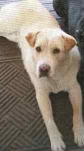Missing male bodercollie/shar-pei Mooloolah Valley Caloundra Area Preview