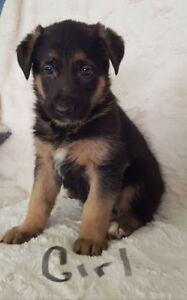 German Shepherd Puppies- Ready for Easter