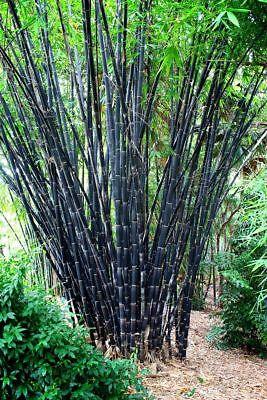 50 Tropical Black Bamboo Seeds Privacy Garden Clumping Exotic Shade Screen 766 Tropical Black Bamboo