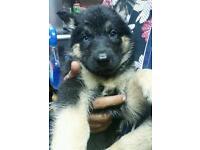 Female husky X german shepherd for sale