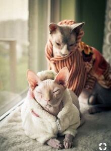 Cat sitter , exclusive Sphynx and Devon Rex only