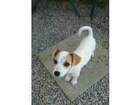 Pomachihw cross jack Russell