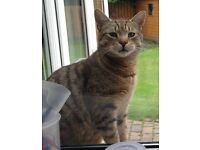 MISSING TABBY MALE CAT IN DERRYVALE AREA - REWARD WILL BE GIVEN IF CAT FOUND