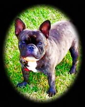 French bulldog male registed Mount Alford Ipswich South Preview
