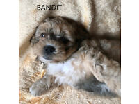 Gorgeous Cavachon Shih Tzu Puppies Scunthorpe £350