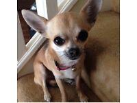 Chihuahua short hair brother and sister