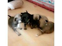 Chilhuahua x puppies