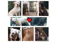 XL Bully Breed puppies