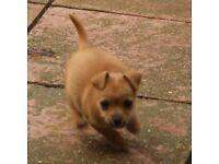 Tinkerbell teacup chihuahua cross jr
