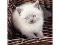 British Short Hair X Ragdoll Kittens