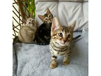Bengal pure breed kittens