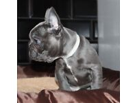 French bulldog puppy's stunning tiny . Boys first to meet will buy .