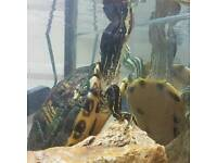 Yellow belly slider terrapin and full setup