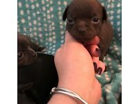 Beautiful KC Chihuahua Pups ready to Reserve