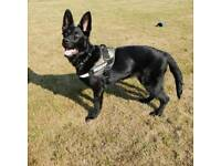 kc german shepherd puppy
