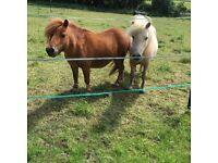2 Mini Shetland geldings for loan
