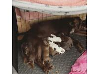 Beautiful Cockerpoo F1b puppies. Ready to leave 13th December.