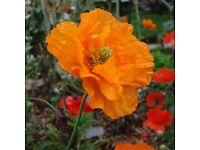 Spanish Poppy Plants for sale