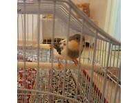 Canary Bird With Cage