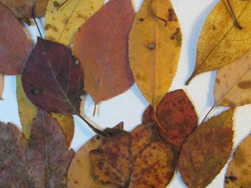 100 Mini Pressed Real Fall Leaves, Red Gold & Brown, 1 - 2.5 in long, for crafts