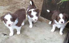 Border collie puppies Myrtleford Alpine Area Preview