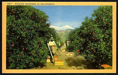 Picking Oranges In California Orange Grove Orchard Original 1940S Mint Postcard