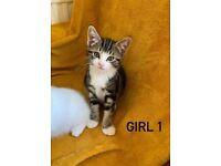 Beautiful Tabby Sisters - READY NOW