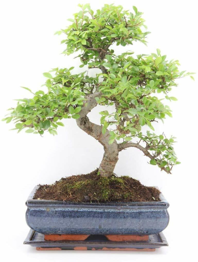 CHINESE ELM BONSAI TREE  – All Sizes – You Choose