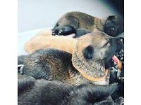 Stunning Malinois pups