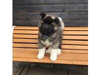 Longcoat Japanese Akita Puppies - Pups Ready Now