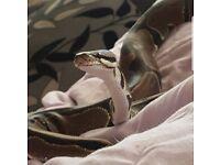 **SOLD** Royal python and viv