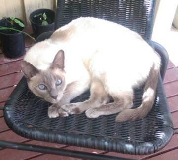 $400 REWARD for SAFE RETURN - Missing F/Blue Point Siamese Cat