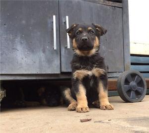 German shepherd puppies Shepparton Shepparton City Preview