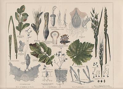 Pflanzenkrankheiten Mutterkorn Getreiderost LITHOGRAPHIE von 1898 Botanik