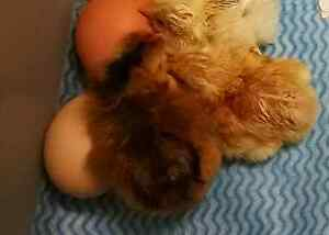 Day old chicks Deception Bay Caboolture Area Preview