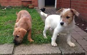 Puppies! Maltese X Bull Arab - 9 weeks old Aranda Belconnen Area Preview