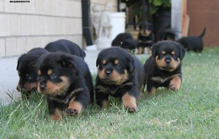 Pedigree Rottweiler Puppies READY NOW Yatala Gold Coast North Preview