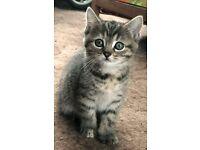 Kitten's 8 week's old