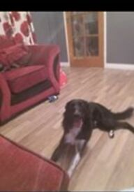 full male boarder collie 1 year 9 months old looking his forever home