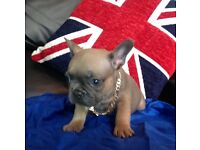 French bull dogs carrying AT/AT blue and chocolate 100% farther is purple Haze a lilac Fawn