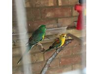 8 X Red rump Parakeets three months 12 months and two years old £30 each or all 8 birds for £200