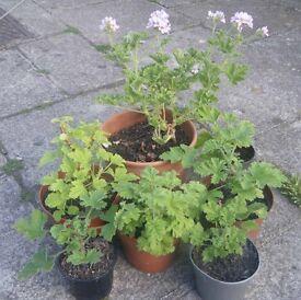 Scented Pelargonium Geranium: Attar of Roses, Orange Fizz, Hazlenut Grandeur Odorata