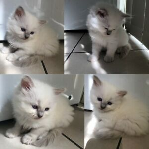 Rag Doll Kittens