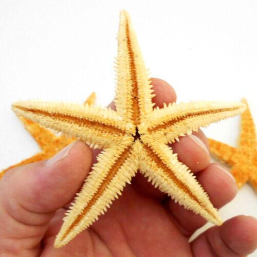 "Set of 3 XX Large Flat Tan Starfish 3 1/2-4"" Seashells Beach Wedding Craft Decor"