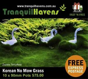 Korean Grass (No Mow) 10 x 90mm Pots Free Express Postage - $75.00