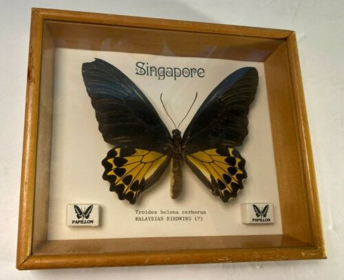 Singapore Mounted Framed Butterfly ORNITHOPTERA TROIDES HELENA CERBERUS