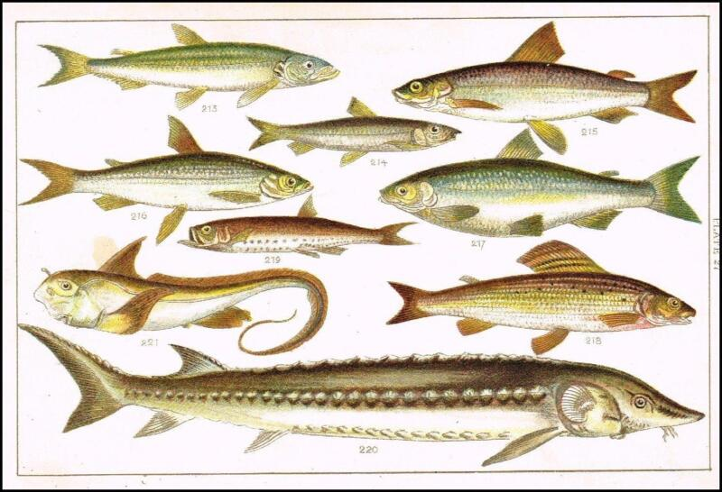 Vintage fish print ebay for Fish pictures to print