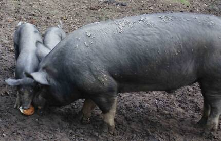 Pure bred Berkshire and Tamworth  pigs for sale Tweed Heads Area Preview